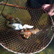 Frisch gefangene Signalkrebse in Krebsreuse